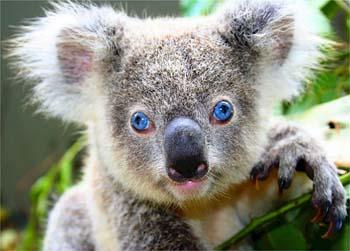Koala Facts for Kids