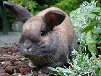 Rabbit Facts for Kids