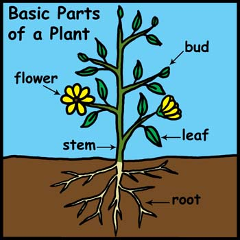 Plant Structure - Science for Kids