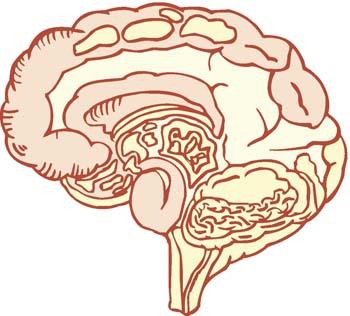 Nervous-System-brain