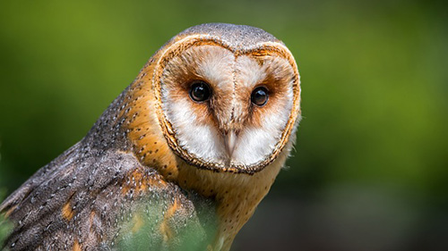 Owl Facts for Kids
